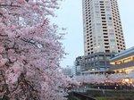 2016目黒川夜桜1.jpg