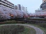 2016目黒川夜桜3.jpg