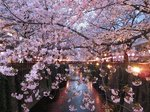 2016目黒川夜桜7.jpg