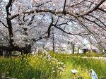 2019国立花見3.jpg