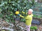 2020晩白柚収穫2.jpg