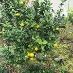 2020晩白柚収穫5.jpg