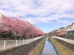 2021平戸永谷川河津桜3.jpg