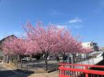2021平戸永谷川河津桜4.jpg