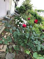 2021庭の花1.jpg