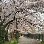 2021柏尾川の桜1.jpg