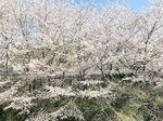 2021極楽湯の桜.jpg