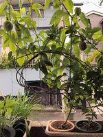 2021裏庭の果実1.jpg
