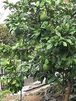 2021裏庭の果実5.jpg